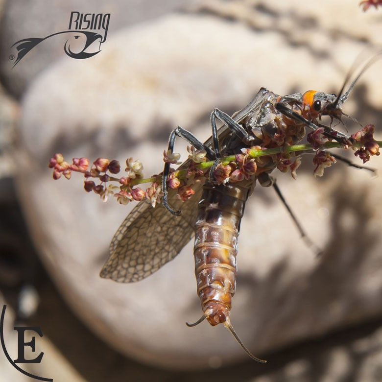Nice camera skills, SalmonFly spectacular